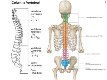 La columna vertebral no siempre estuvo vertical.